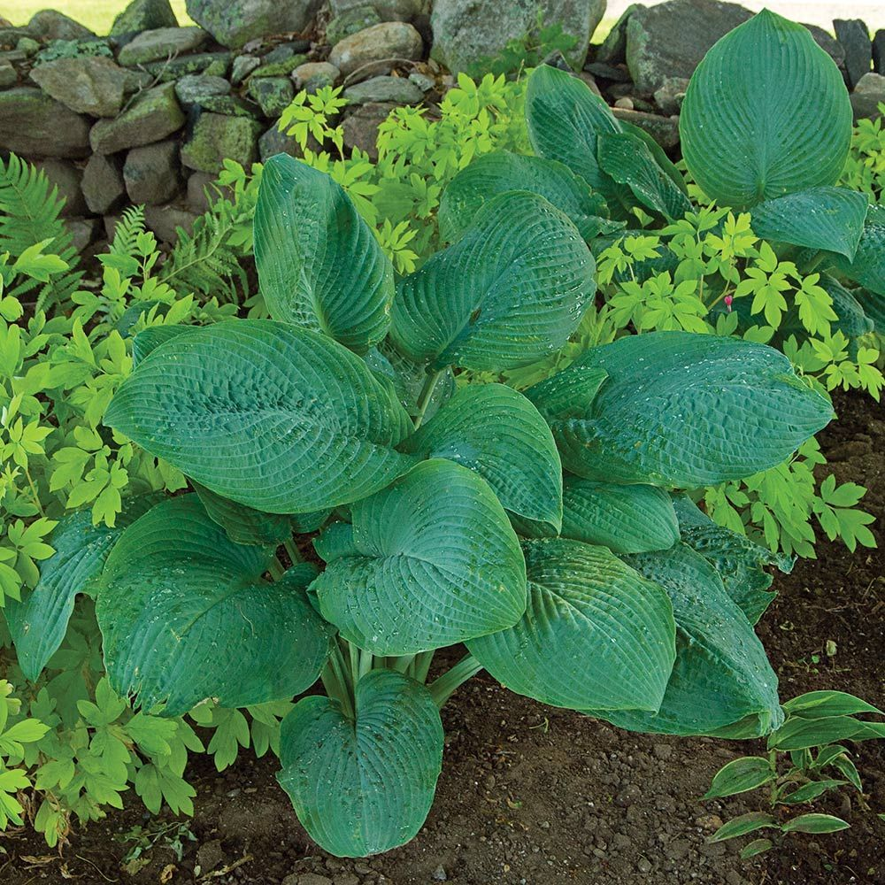 Hosta Blue Mammoth Landscaping Perennial Groundcovers Blue