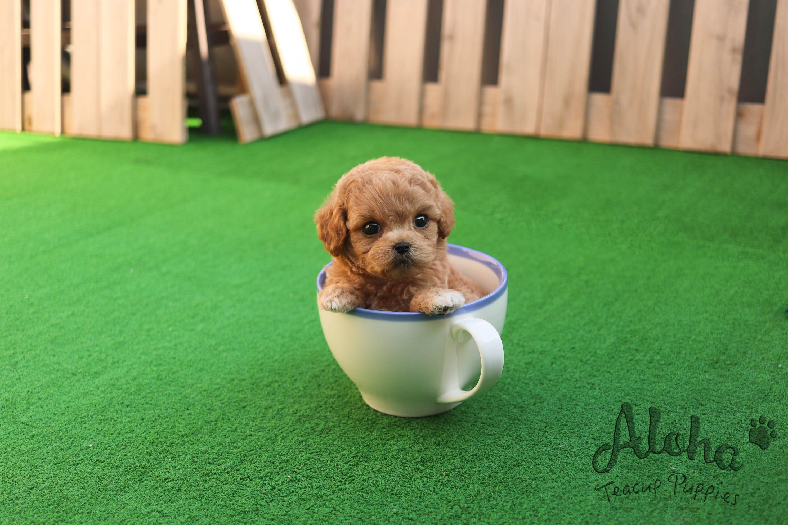 Maltipoo in the cup