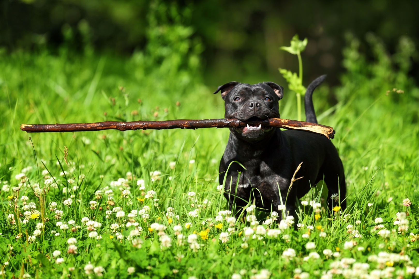 Staffordshire Bull Terrier With A Big Stick Due To Its Breeding And History The Staffordshire Staffordshire Bull Terrier Bull Terrier English Bull Terriers