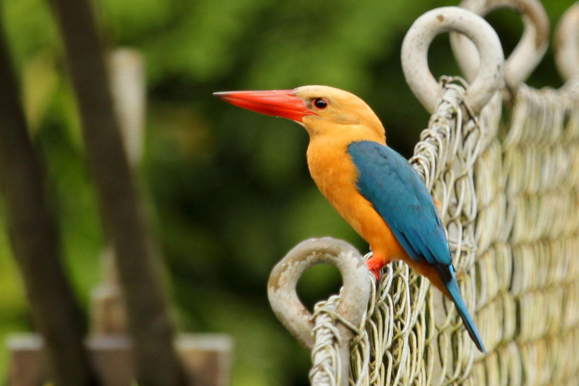 Stork-Billed Kingfisher, (Pelargopsis capensis)  Range: Nepal to India, Sri Lanka and northwest Myanmar
