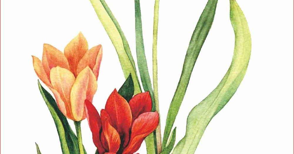Menggambar Bunga Tulip Sederhana Dan Mudah Learning To Draw Tulips Is Si Menggambar Bunga Bunga Tulip Gambar