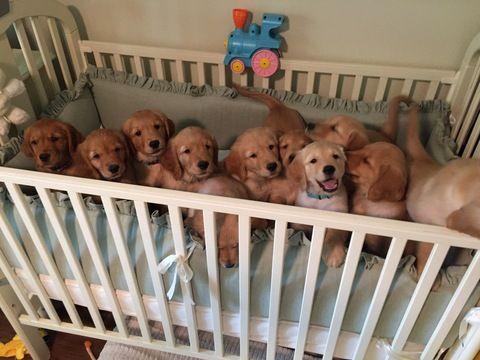 Litter Of 9 Golden Retriever Puppies For Sale In Fort Worth Tx Adn 34164 On Puppyfinder Com Gender Puppies For Sale Golden Retriever Puppy Golden Retriever
