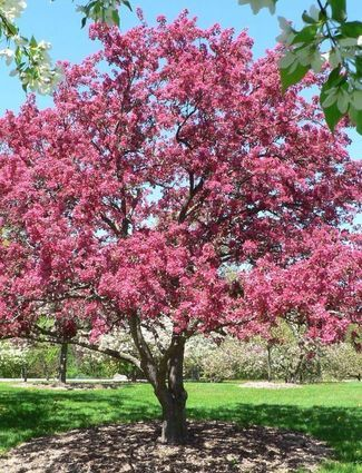 Thunderchild crabapple tree bright pink flowers with dark purple thunderchild crabapple tree bright pink flowers with dark purple leaves mightylinksfo