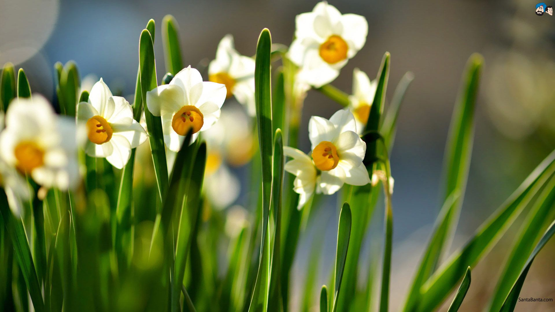 Daffodils Hd Wallpaper 1 Daffodil Flower Flower Background Wallpaper Daffodils