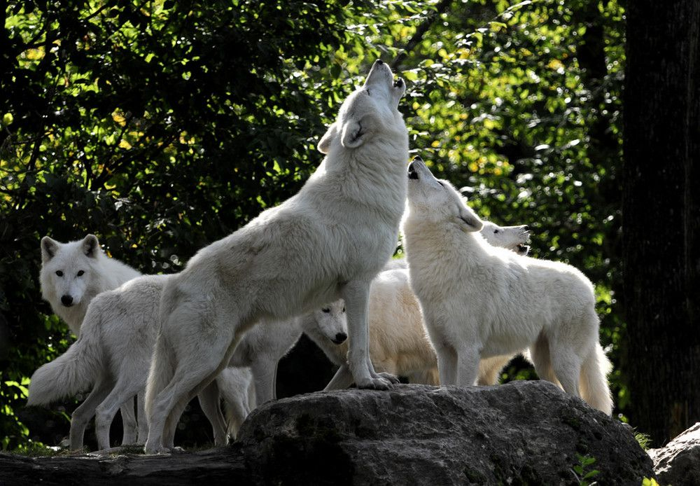Loup Blanc Loup Blanc Meute De Loup Loup