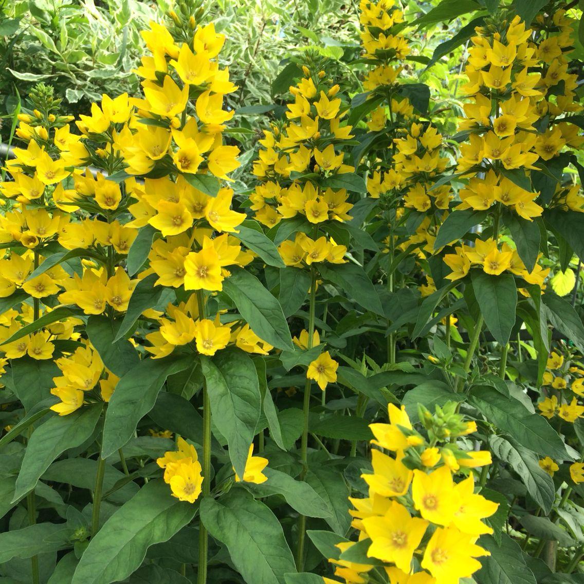 Yellow spiky from my garden hoa s pinterest gardens and flowers yellow spiky from my garden mightylinksfo Gallery