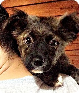 Denver Co Australian Shepherd Border Collie Mix Meet Belize A Puppy For Adoption Http Www Adoptapet Com Pet 157 Australian Shepherd Puppy Adoption Pets