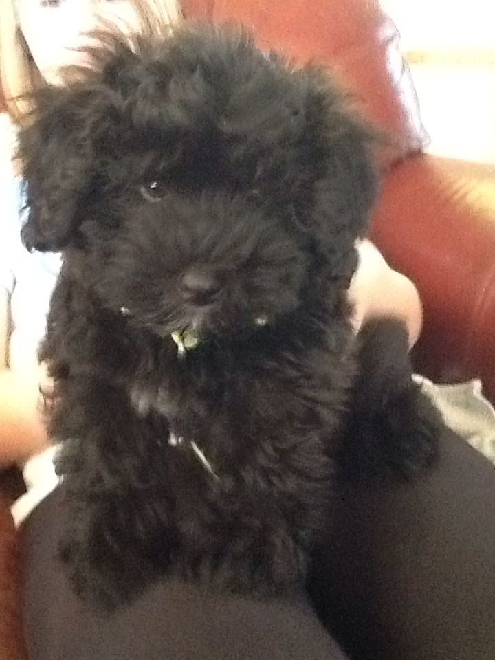 Wheaton Terrier Toy Poodle Mix Puppies And Kitties Puppies