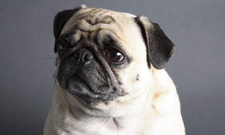 Pugs Com Pug Breed Pictures And Photos How Cute Baby Pugs