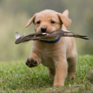 Puppy In Training See The Bird Wing This Pup Has Retrieved I
