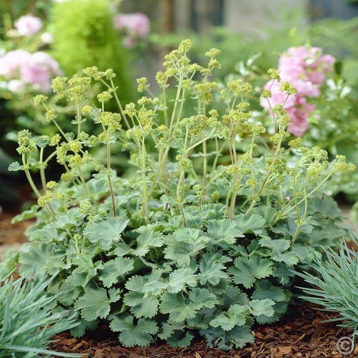 kleiner frauenmantel - 1 pflanze günstig online kaufen, bestellen, Terrassen ideen