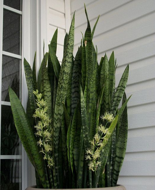mother in laws tongue snake plant for the home pinterest snake plant snake and plants. Black Bedroom Furniture Sets. Home Design Ideas