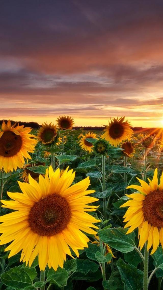 Sunflower Sunrise Fotografia de paisagem, Fotografia da