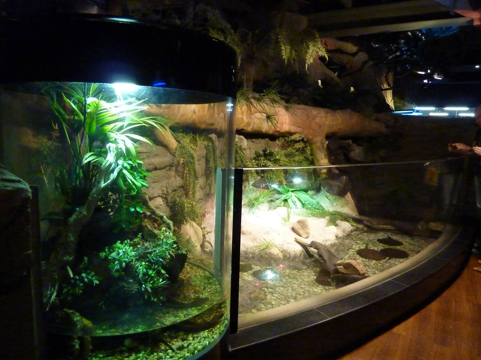 Freshwater Aquarium Fish In Dubai - Cuvier s dwarf caiman amp chinese water dragon enclosures dubai aquarium underwater