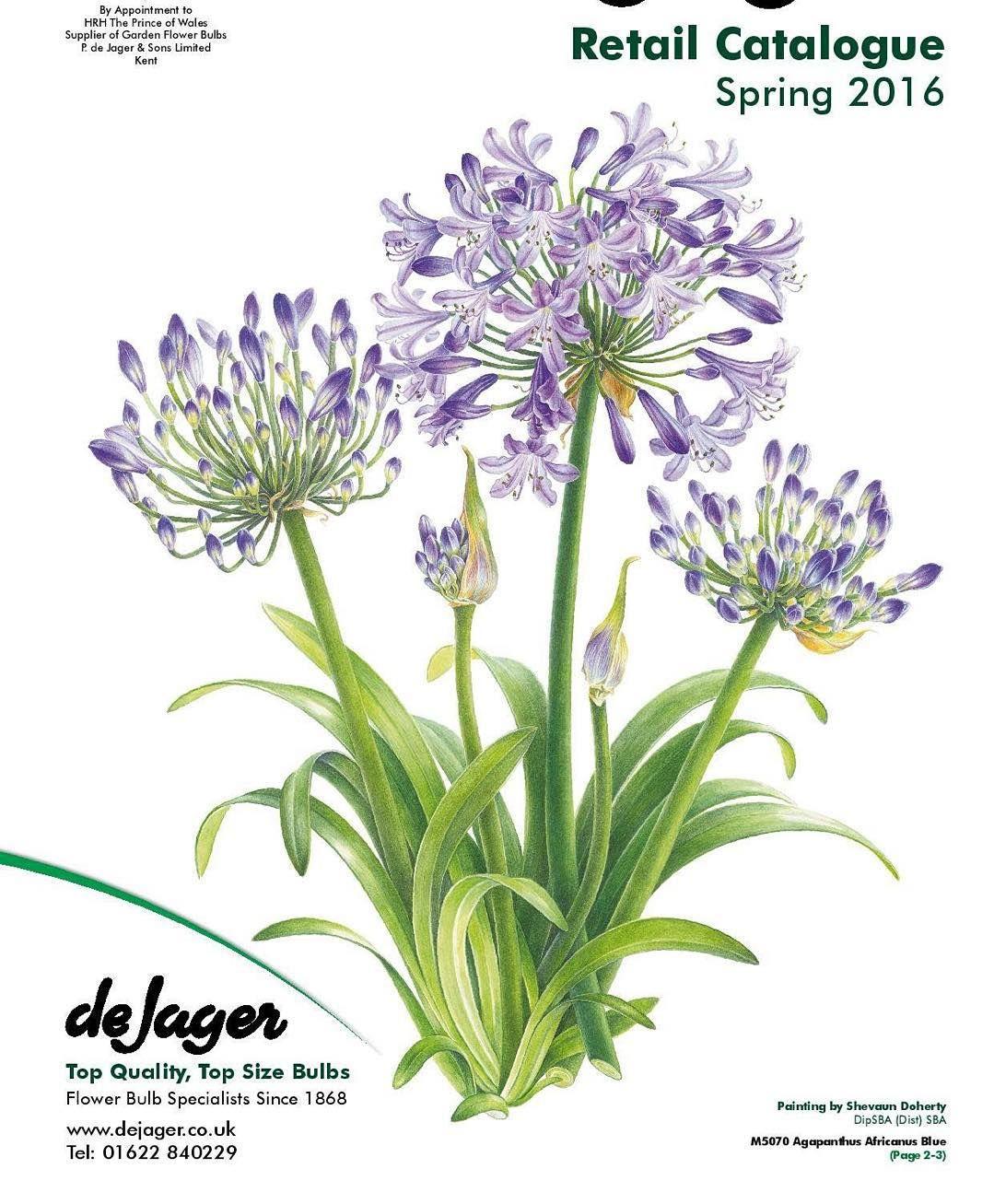 No Photo Description Available Bulb Flowers Agapanthus Instagram