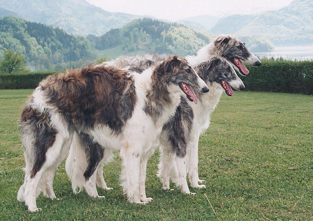 Pin Von Sabine Auf Barsoi Russischer Windhund Barsoi Windhunde Windhund