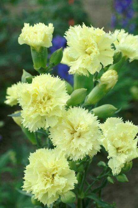 Angeliere Carnations Flower Seeds Carnation Flower Flowers Perennials
