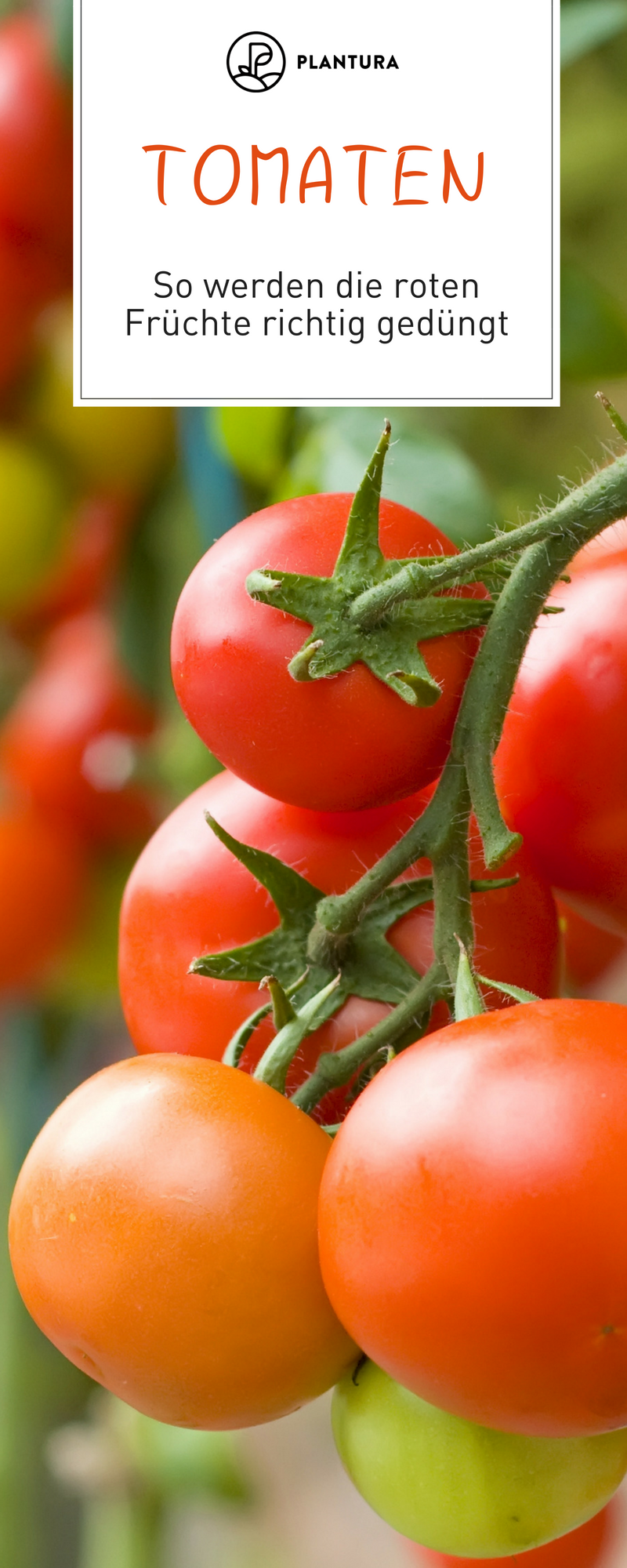 tomaten d ngen so einfach geht s zur reichen ernte. Black Bedroom Furniture Sets. Home Design Ideas