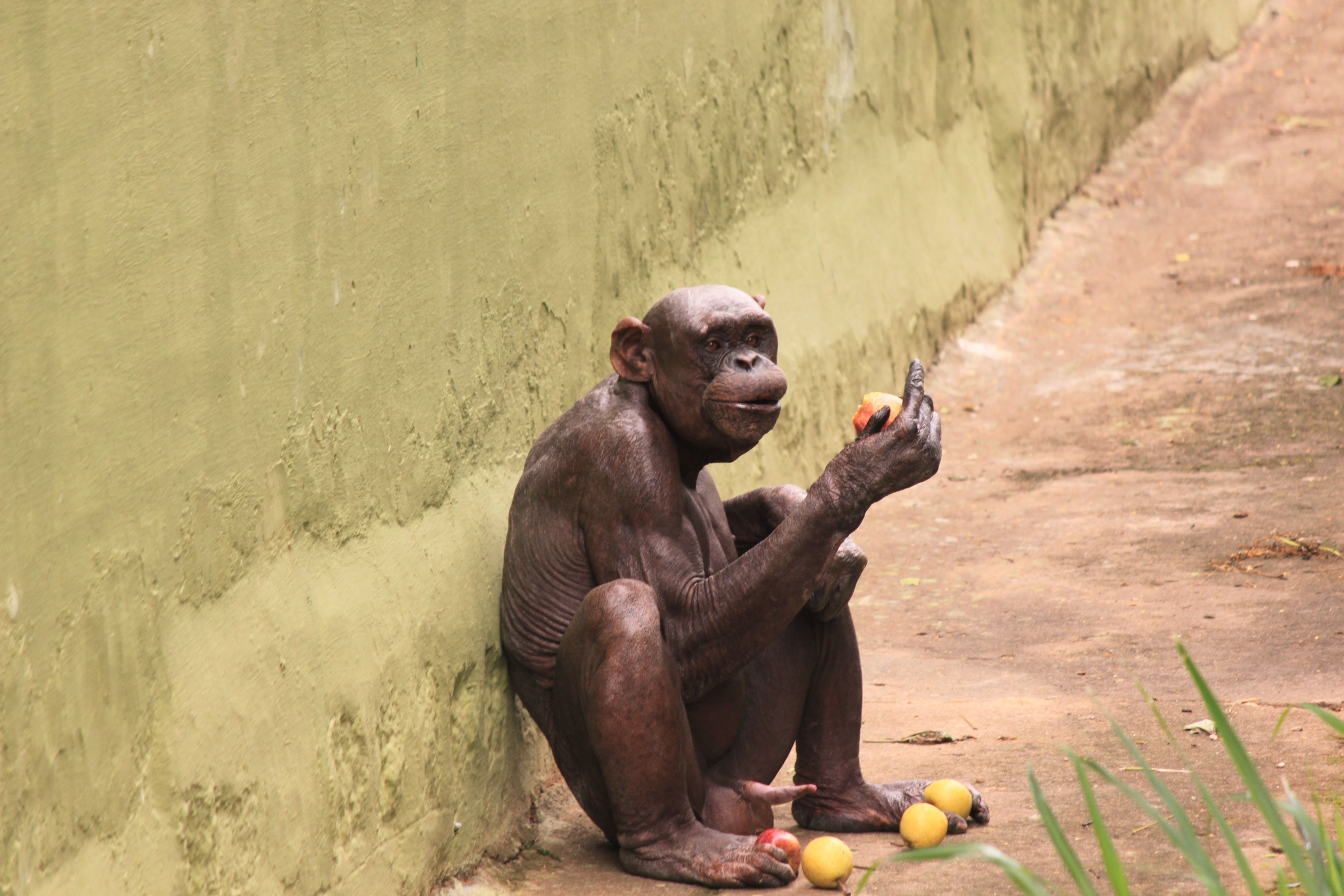 Chimp Named Guru Suffering From Aloepacia No Hair Looks So Much Like A Human Evolution Theory Is True For Sure Chimp Hair Loss Conditions Mysore Zoo