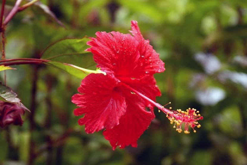 Arbustos con flor para jardín Hibiscus