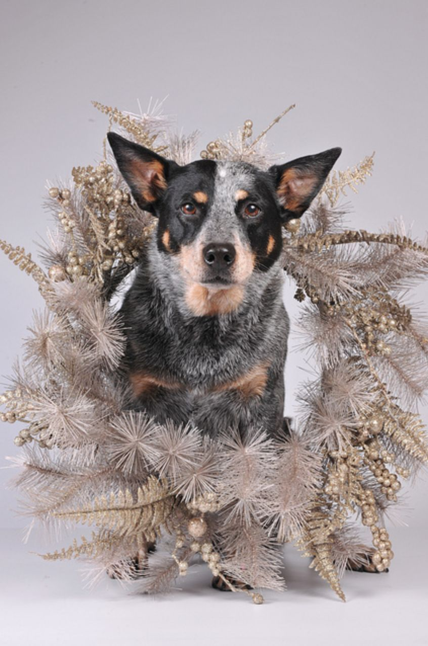 Are The Holidays Over Yet Blue Heeler Dogs Aussie Cattle Dog Cattle Dogs Rule