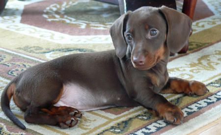 Uly The Miniature Dachshund The Small And Mighty Miniature