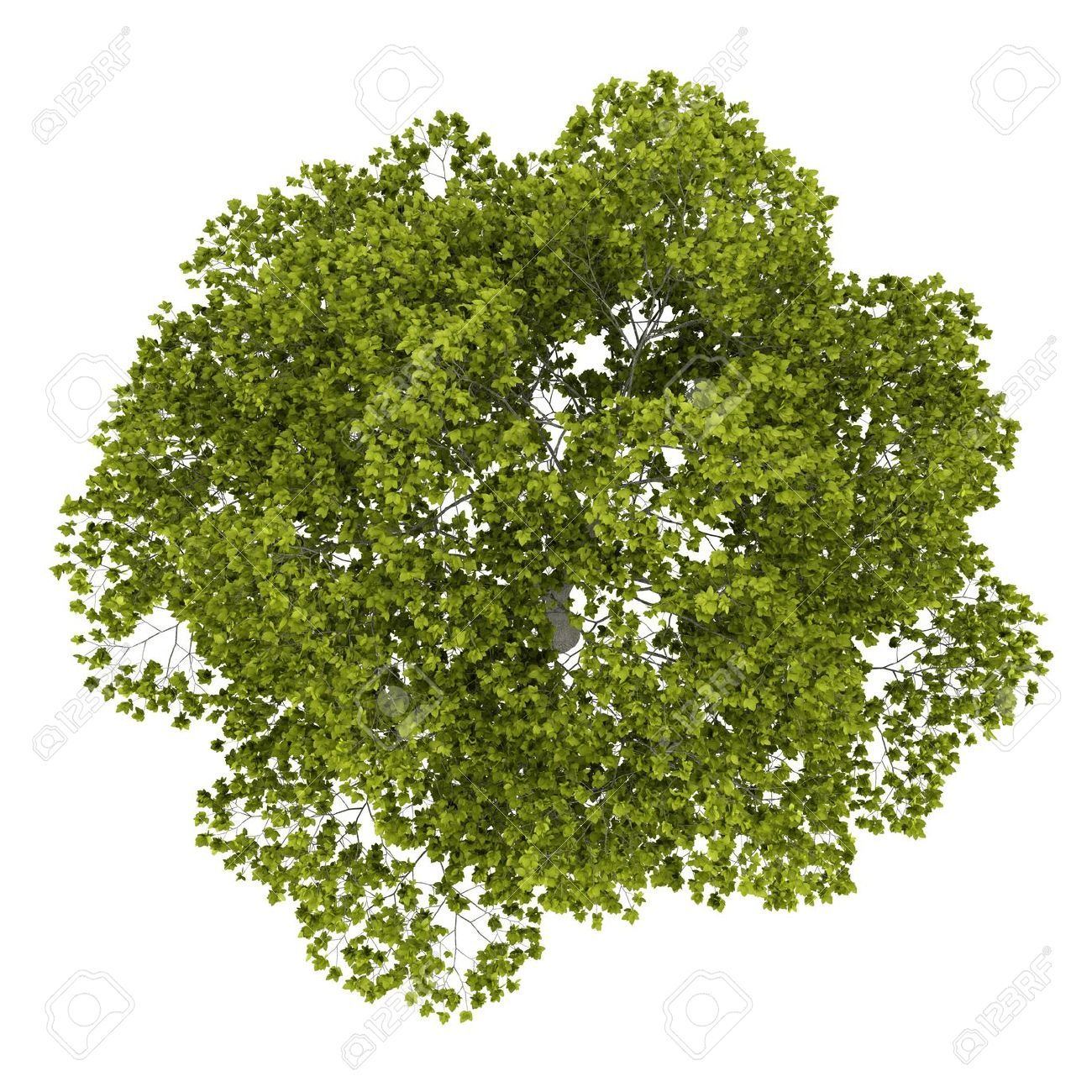 Top view plants 02 2d plant entourage for architecture - Picture Of Top View Of American Beech Tree Isolated On White Background Stock Photo Images And Stock Photography