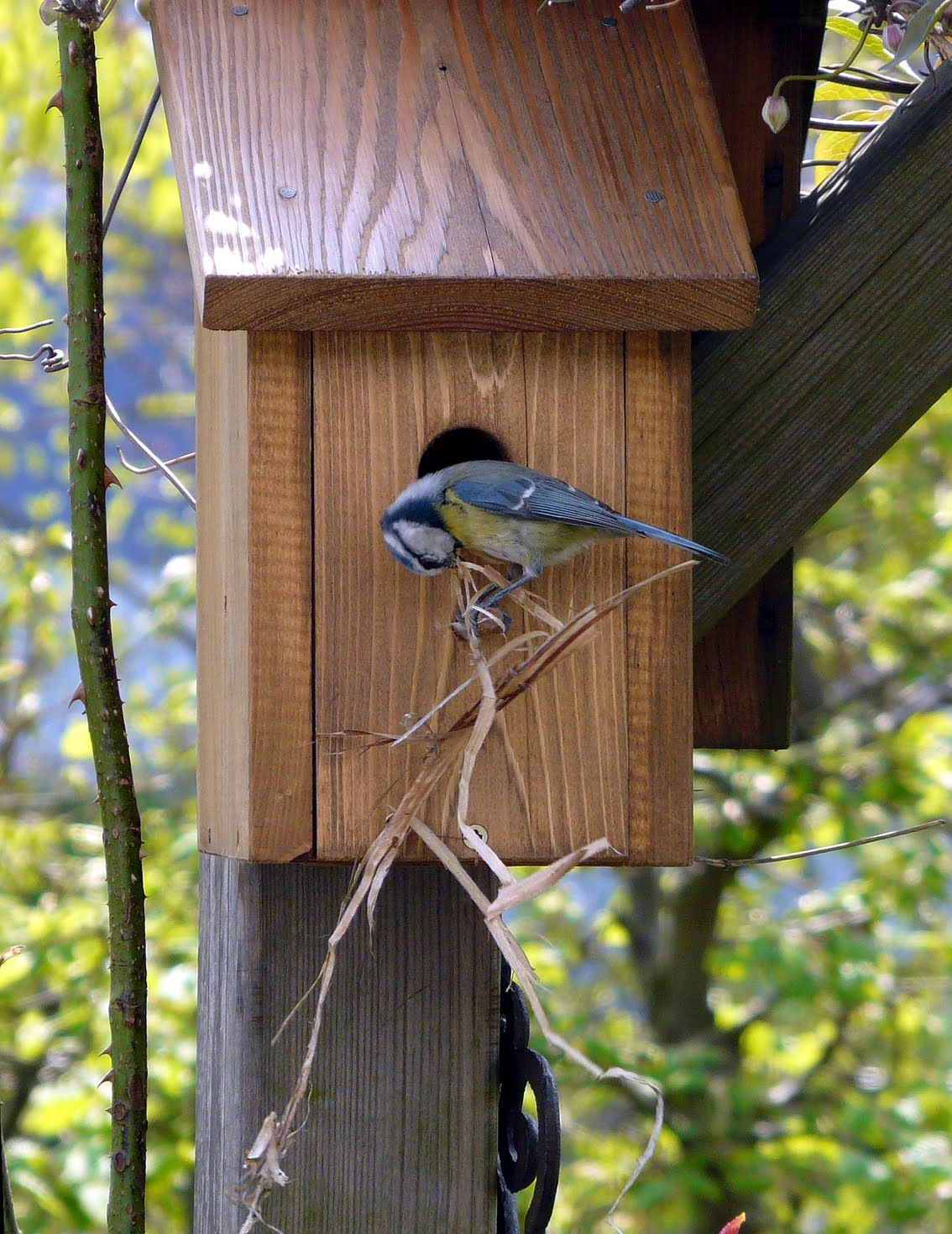 m sange bleue ayant choisi un nichoir pour y faire son nid nichoirs pour petits oiseaux. Black Bedroom Furniture Sets. Home Design Ideas