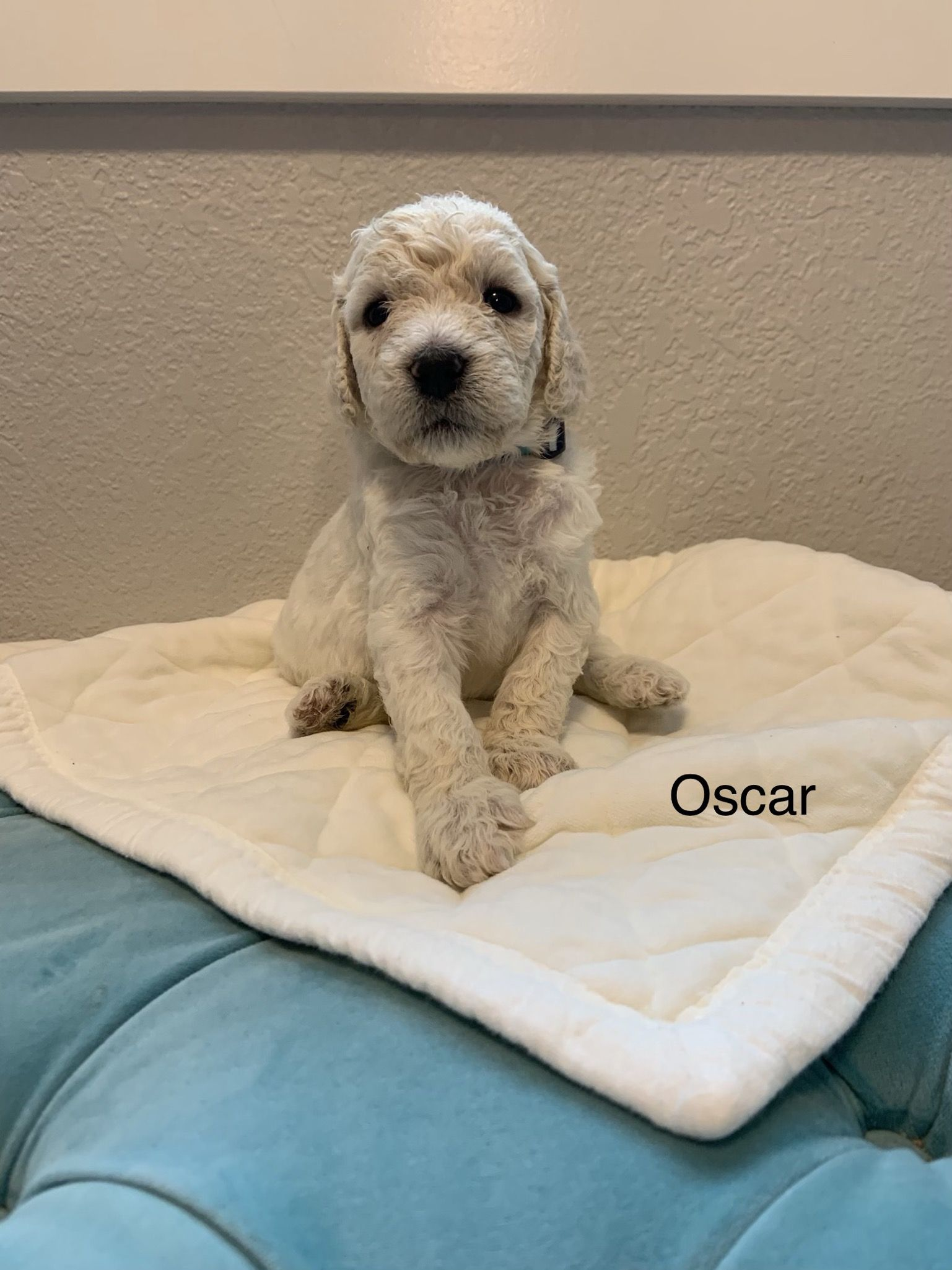 Oscar male Goldendoodle puppy from [Julesburg, Colorado