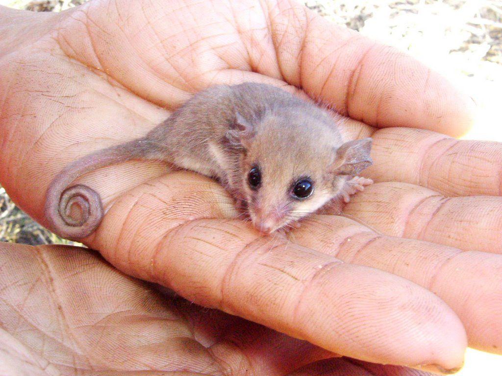 Tasmanian Pygmy Possum