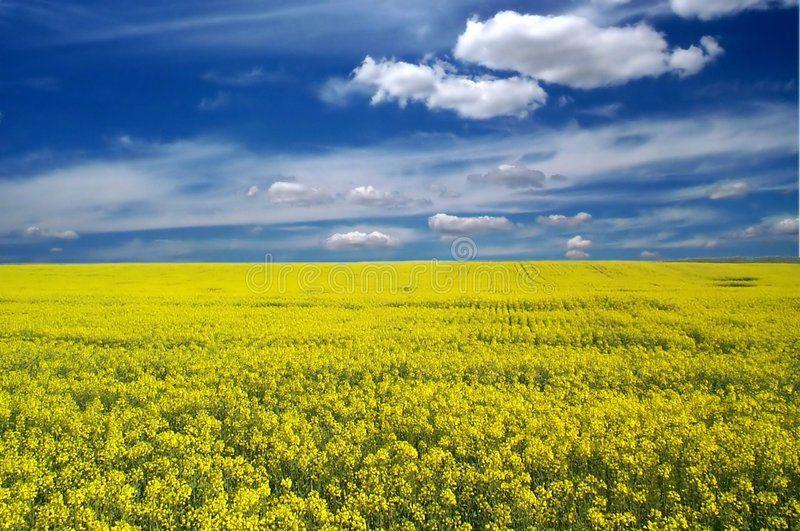 Landscape Perspective Of A Landscape With Golden Canola Field On A Summer Morni Aff Landscape Golden Landscape With Images Landscape Photo Digital Illustration