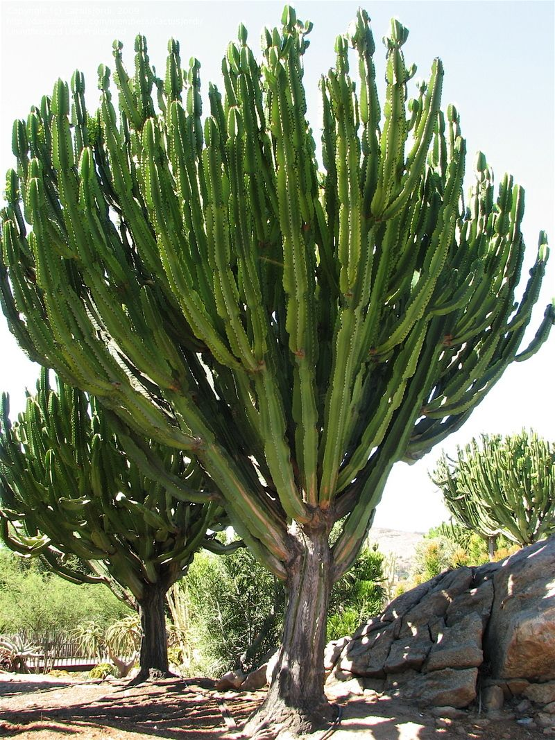 Euphorbia Ingens Candelabra Tree