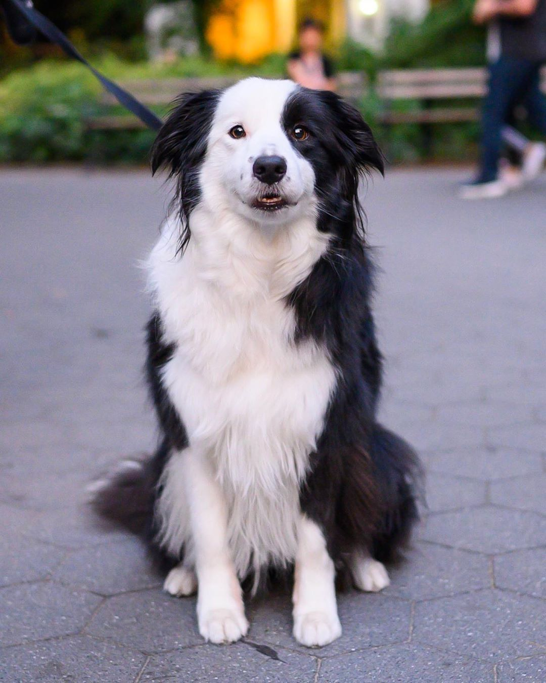 Panda Border Collie 3 Y O Washington Square Park New York Ny She S Very Food Focused And Doesn T Like Skat Border Collie Washington Square Park Collie
