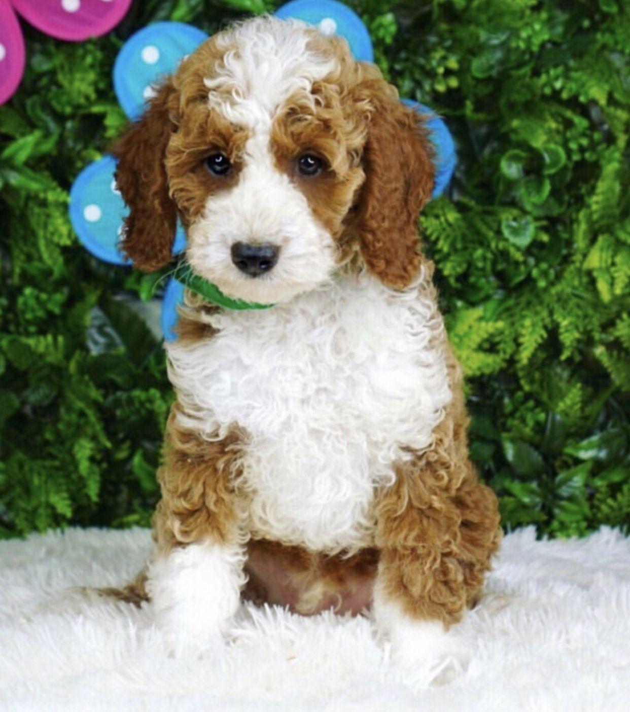 Goldendoodle Labradoodle Labradorretriever Goldenretriever Puppies Puppy Teddybeardog Doodlepuppy Ad In 2020 Goldendoodle Teddy Bear Dog Goldendoodle Breeders