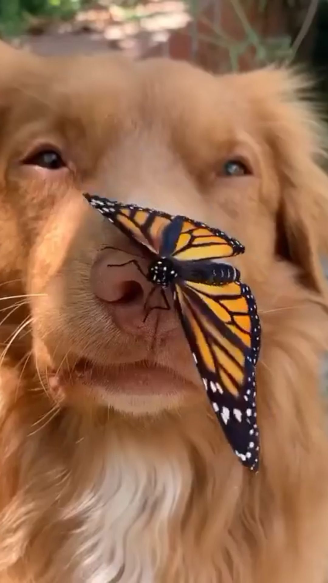 Adorable video of a golden retriever and a butterf