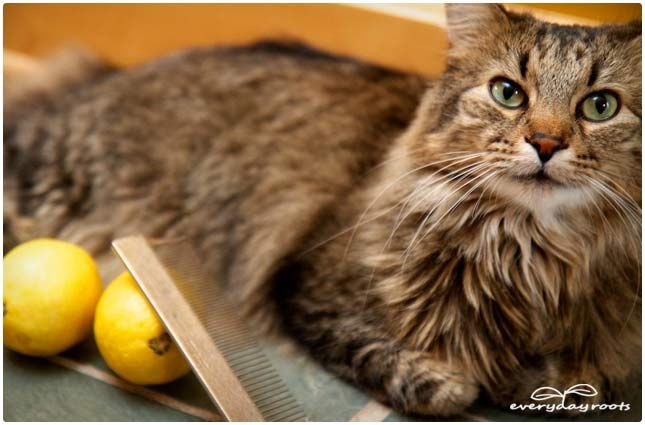 Natural Ways Of Getting Rid Of Fleas On Cats