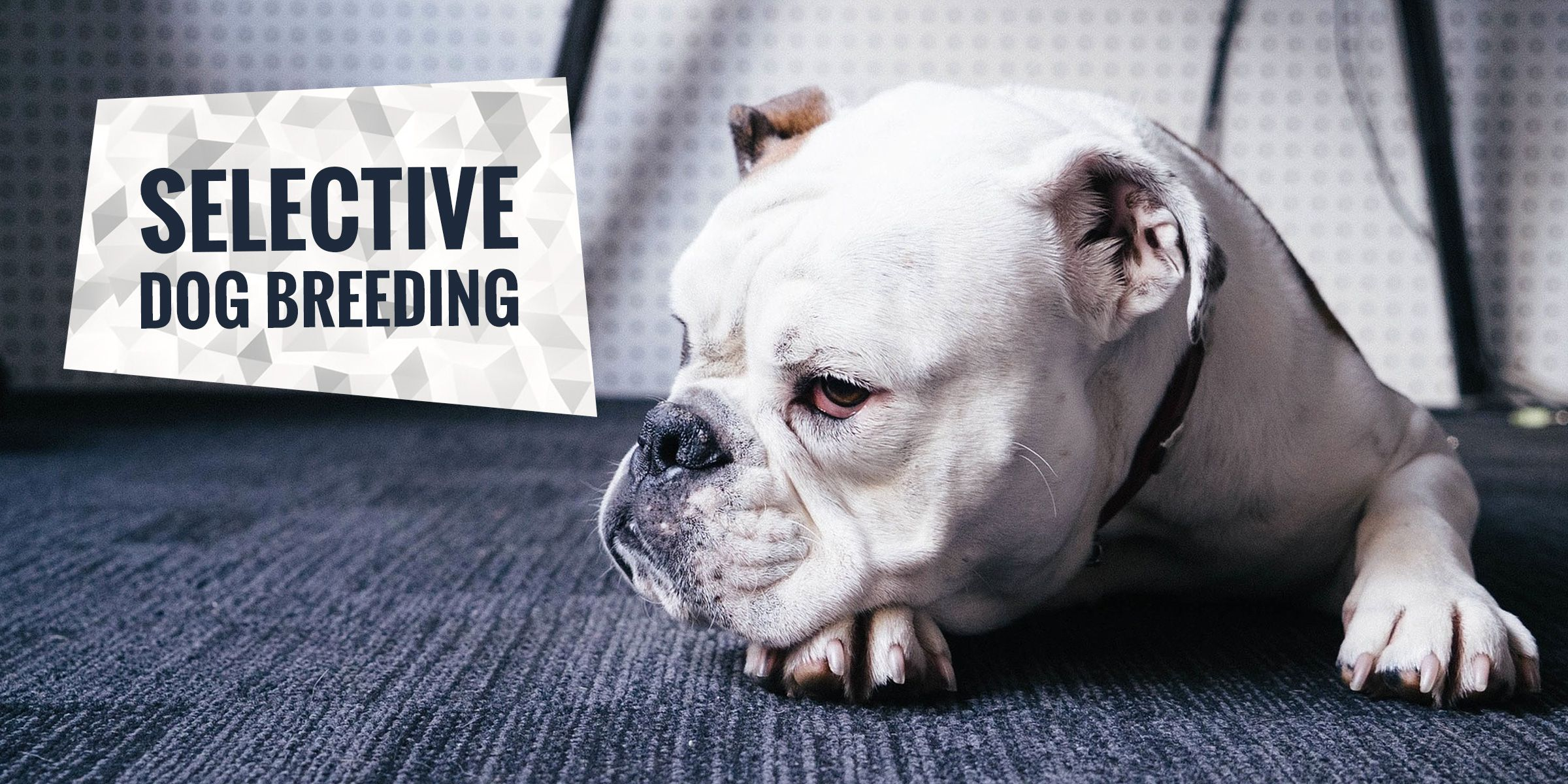 Selective Breeding In Dogs Pros Cons And Full Definition