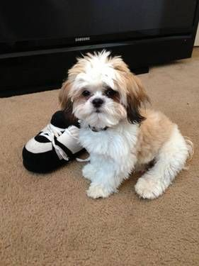 Lucky Da Shih Tzu Stud Shih Tzu Easiest Dogs To Train Shih Tzu