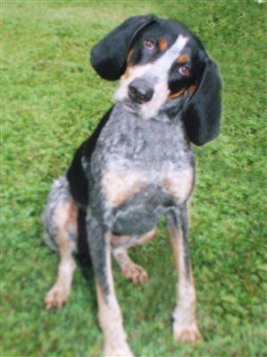 My Granddaddy S Blue Tick Hound Old Blue Could Tree A Squirrel