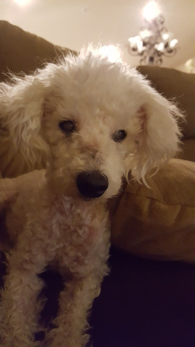 Little Jacob Forever In Our Hearts Poodle Rescue Rescue Dogs