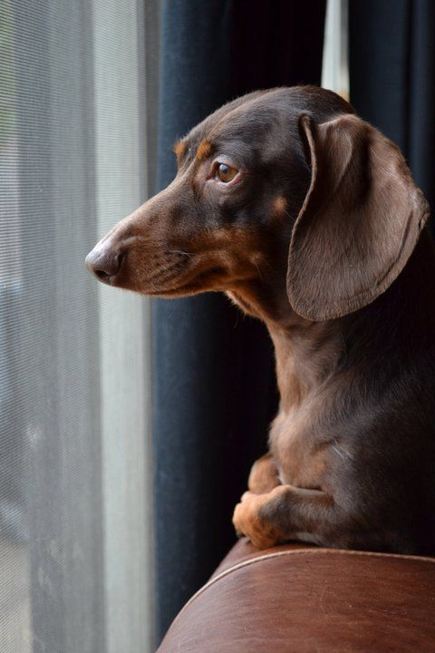 In Silent Repose Watching For Anything To Bark At Dachshund