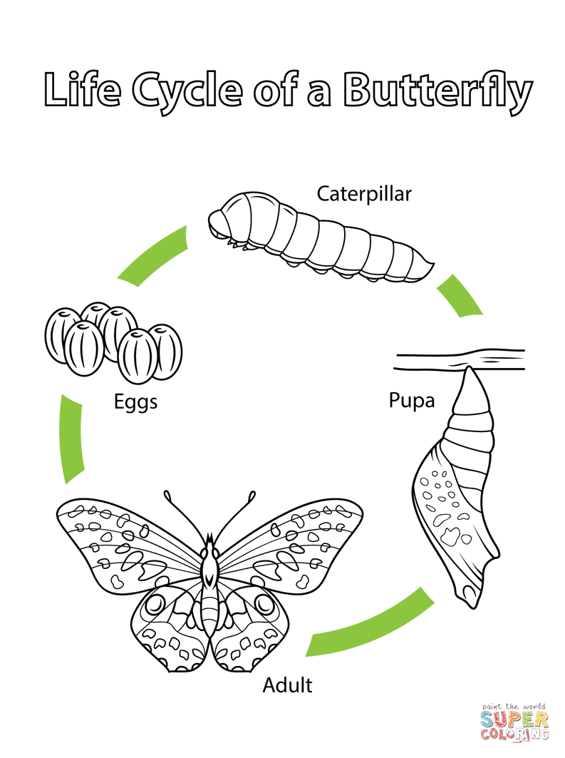 worksheet Butterfly Cycle Worksheet life cycle of a butterfly super coloring unit coloring