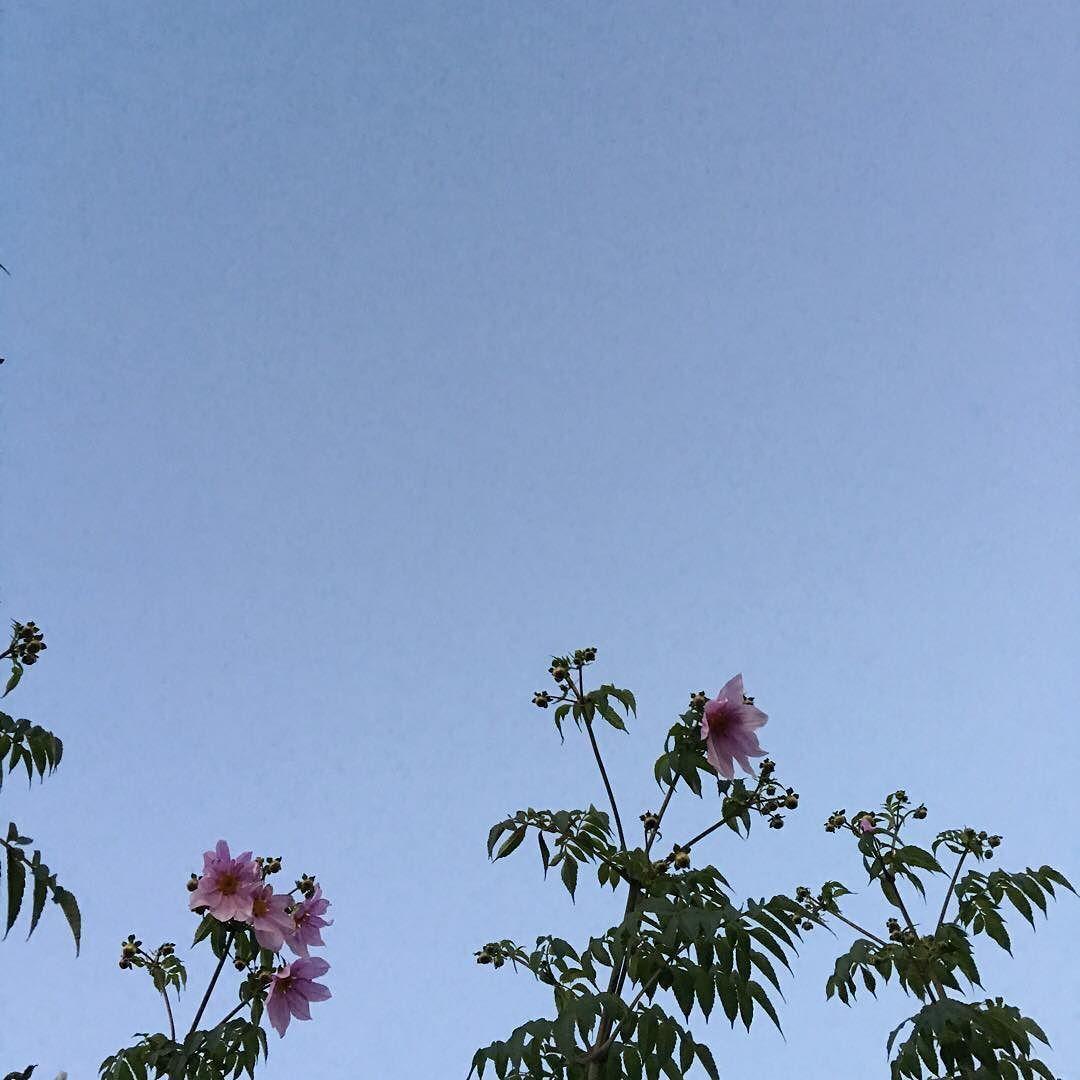 皇帝ダリア #花 #flower