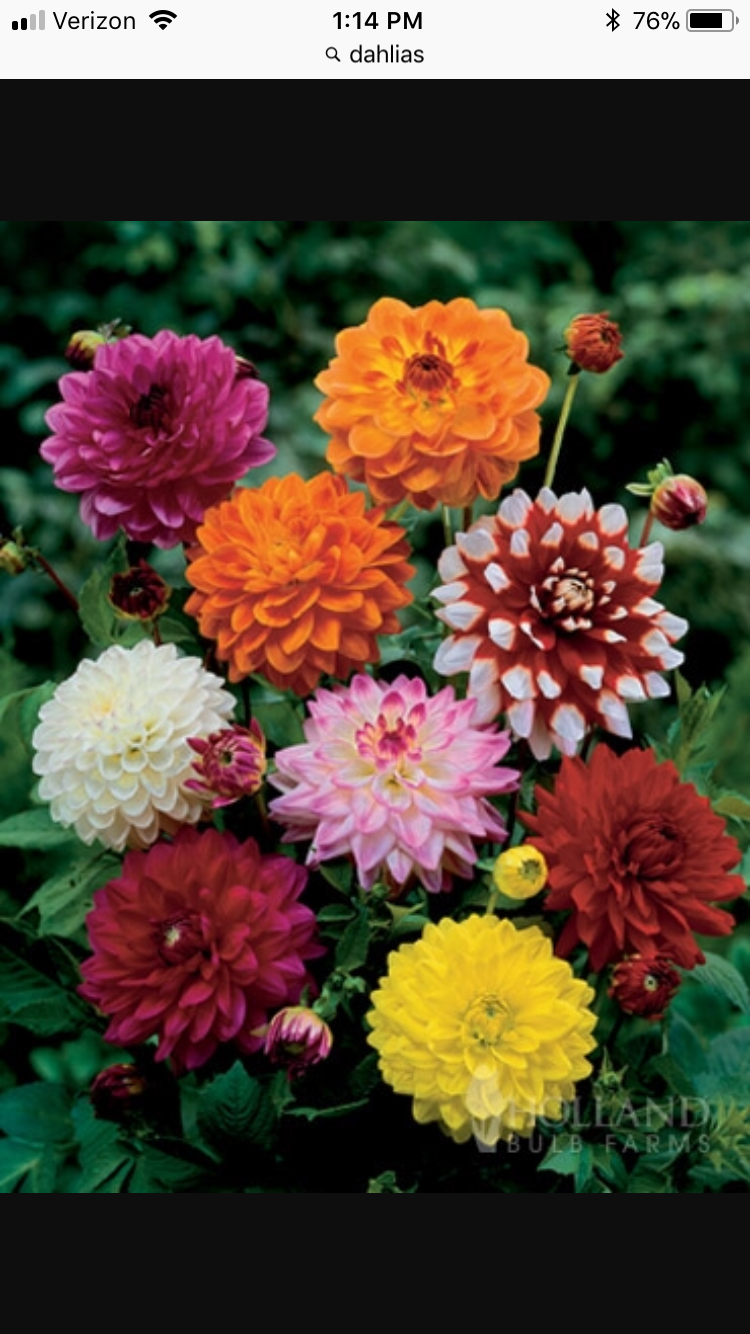 Pin By C S On Vista Landscape Flower Seeds Dahlia Flowers