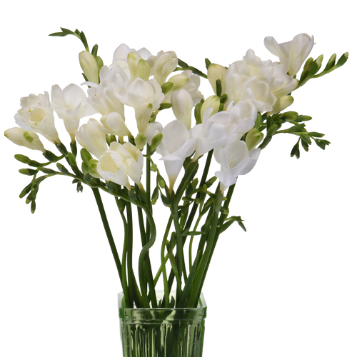 White Freesia Flowers Fiftyflowers Com In 2020 Freesia Flowers White Wax Flower White Flowers