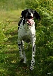 Resultado de imagen para razas de perros de caza pointer