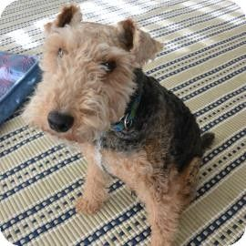 Austin Tx Meet Penny Lane An Adoptable Female Welsh Terrier Mix Facts About Penny Lane Is Already Spayed And Utd On With Images Kitten Adoption Pets Animal Rescue