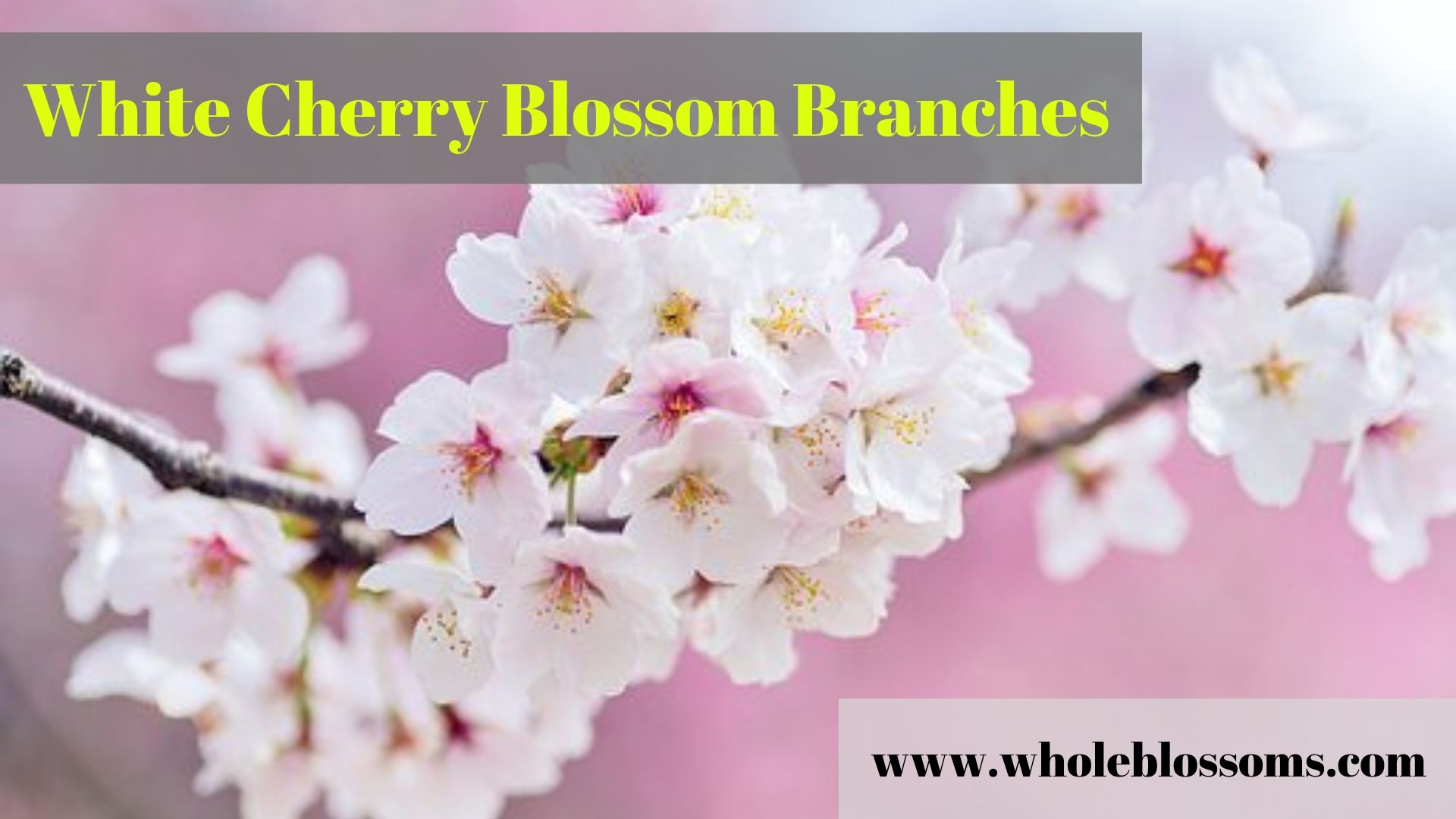 Get White Cherry Blossom Branches Whole Blossoms White Cherry Blossom Cherry Blossom Branch White Cherries