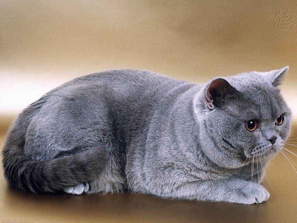 British Shorthair Cat Blue Katzen Rassen Kurzhaar Katzen Katzenrassen