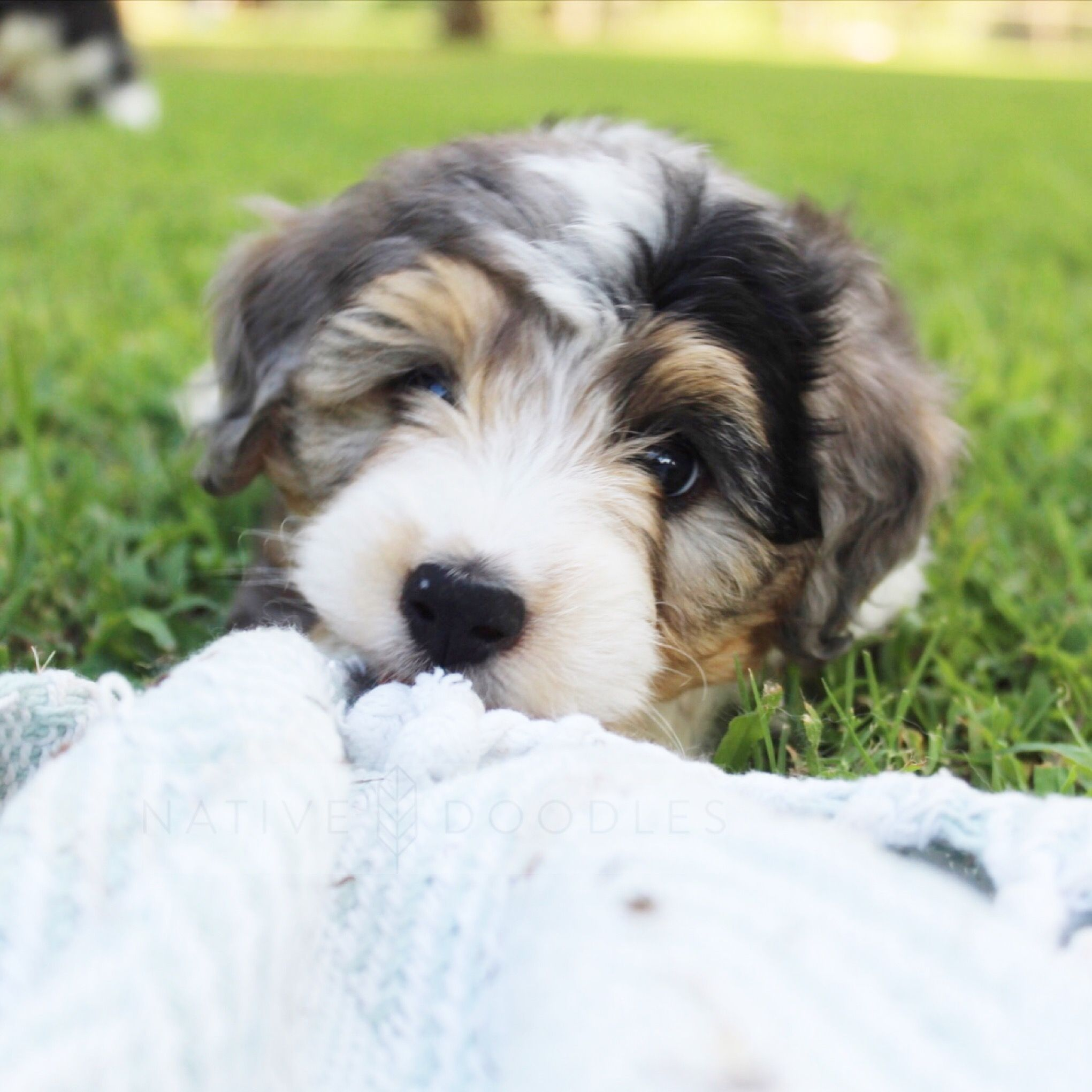 Mini Aussiedoodle From Native Doodles Mini Australian Shepherds
